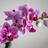 Avatar de Orchidées