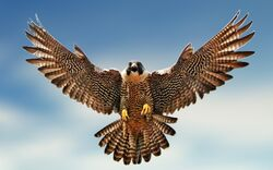 Falcon-Image 1.jpg