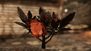Ash rose flower