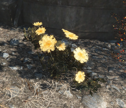 FO4 Mutated carrots.png