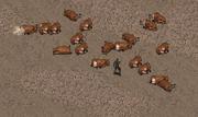 A herd of brahmin.png