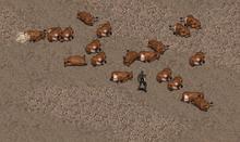 A herd of brahmin