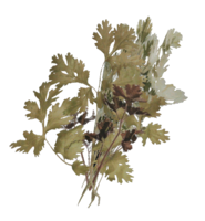 FO76 Carrot plant render