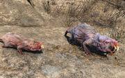 Mole rat brood mother.jpg