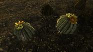 Fruta de cactus de barril 2