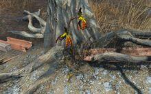 Siltbeanbush