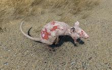 Infected Radrat