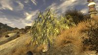 Cápsula mesquite planta 2