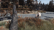 FO76 Observant radstag stump.png