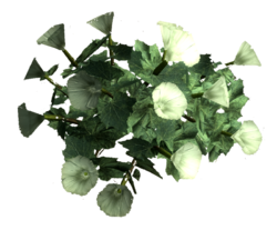 Sacred datura root.png