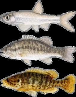 FNV Fish.png