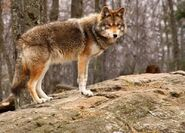 861539-coyote-standing-on-a-rock