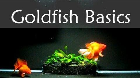 Goldfish_Care_Basics_Tank_Size