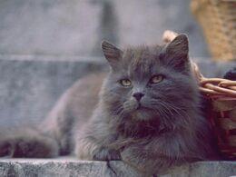 Img gray persian cats photo gallery 337 paso 0 600.jpg