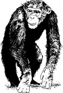 Шимпанзе.png