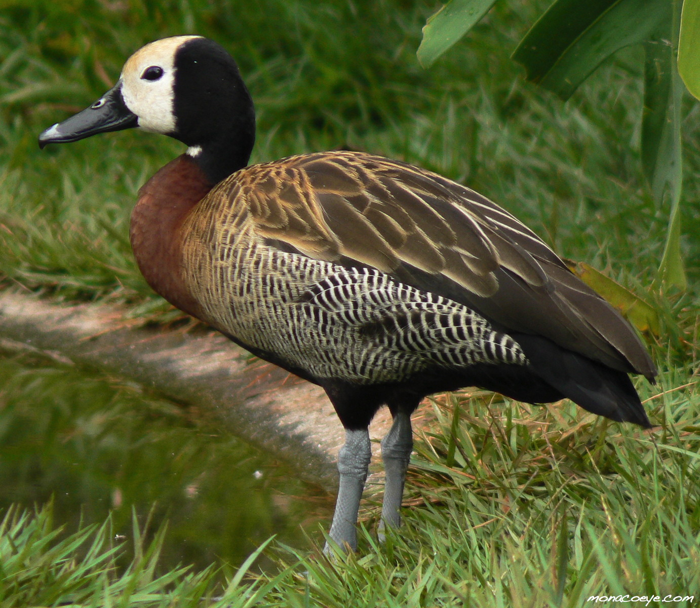 American Common Whistling Duck