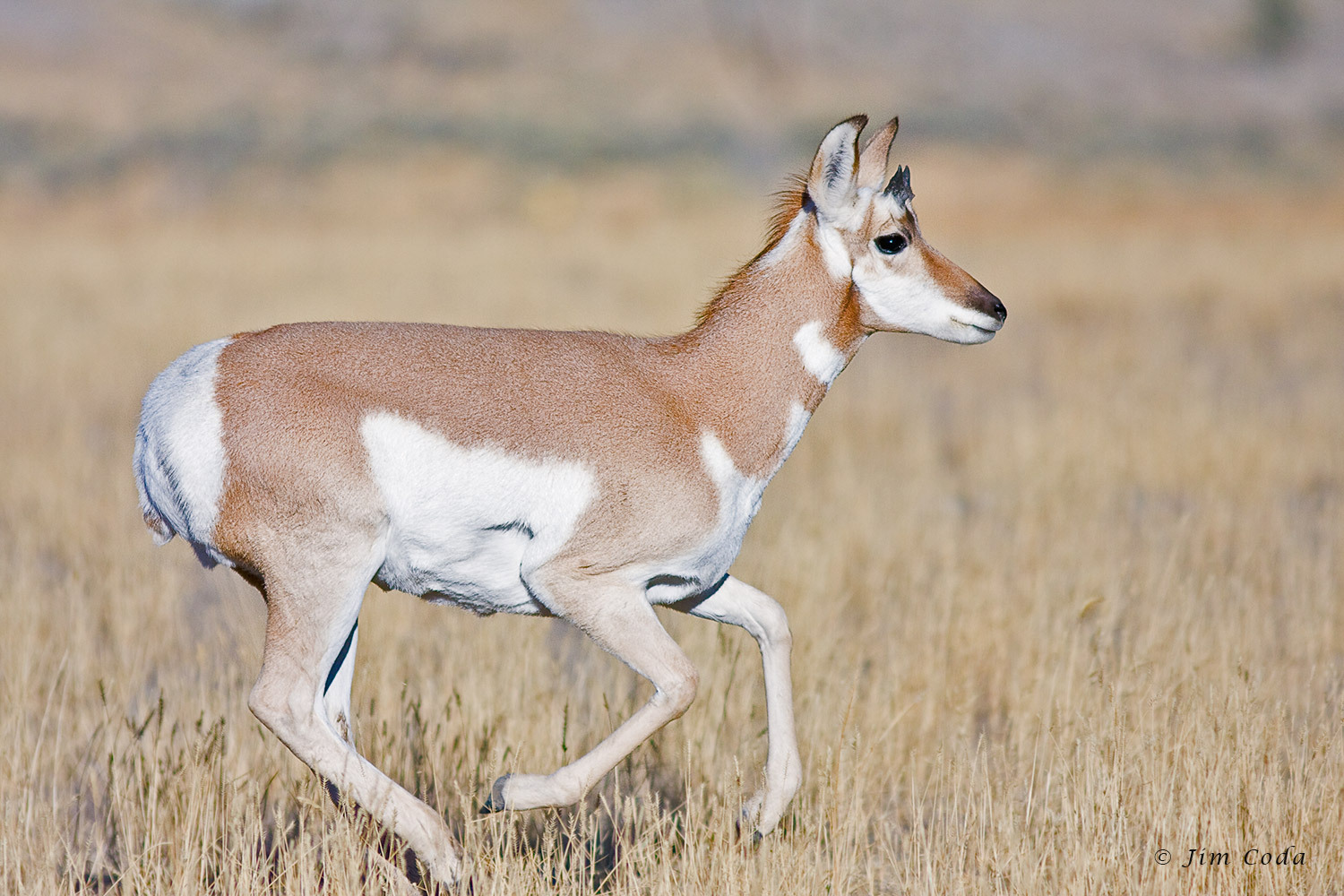 Domestic Pronghorn