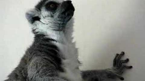 Briddle-Tailed_Lemur_Sounds