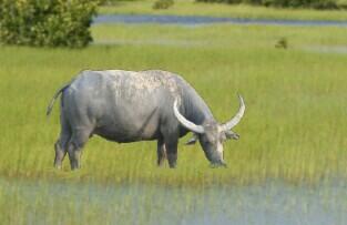 American Water Buffalo