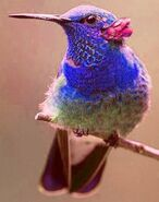 North American violetear (SciiFii)