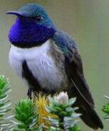 Northern blue-throated hummingbird (SciiFii)