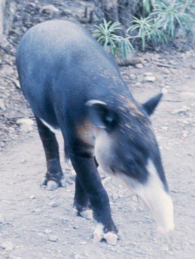 Domestic Tapir