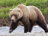 New Zealand Grizzly Bear