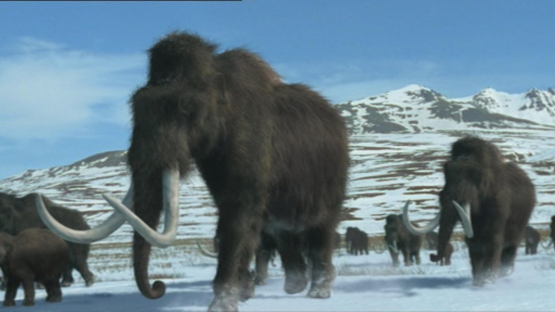 American Northwestern Mammoth