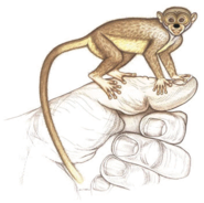 American marmoset lemur (SciiFii)