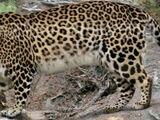 European leopard (SciiFii)