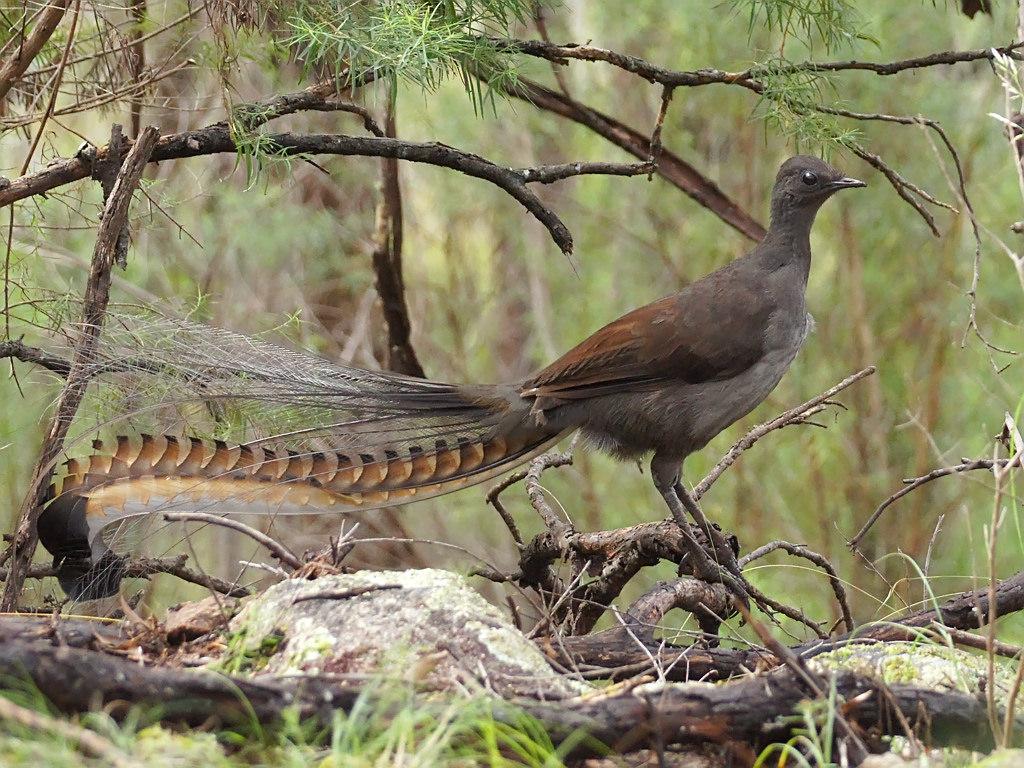 American Lyrebird