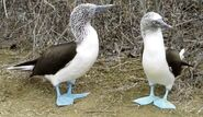 Blue-footed gannet (SciiFii)
