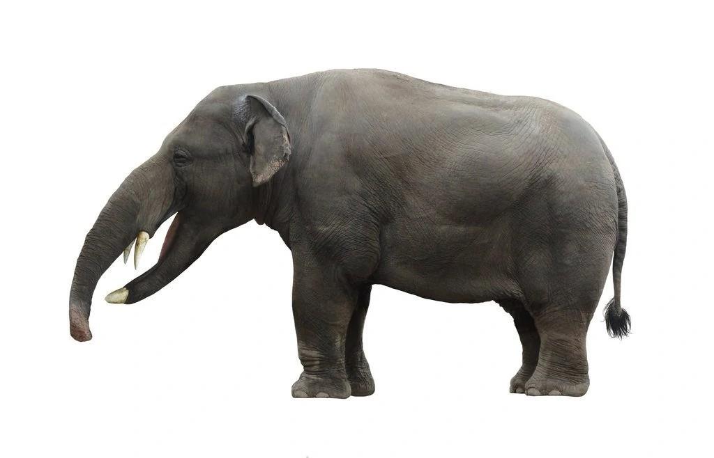 Platybelodon (SciiFii)