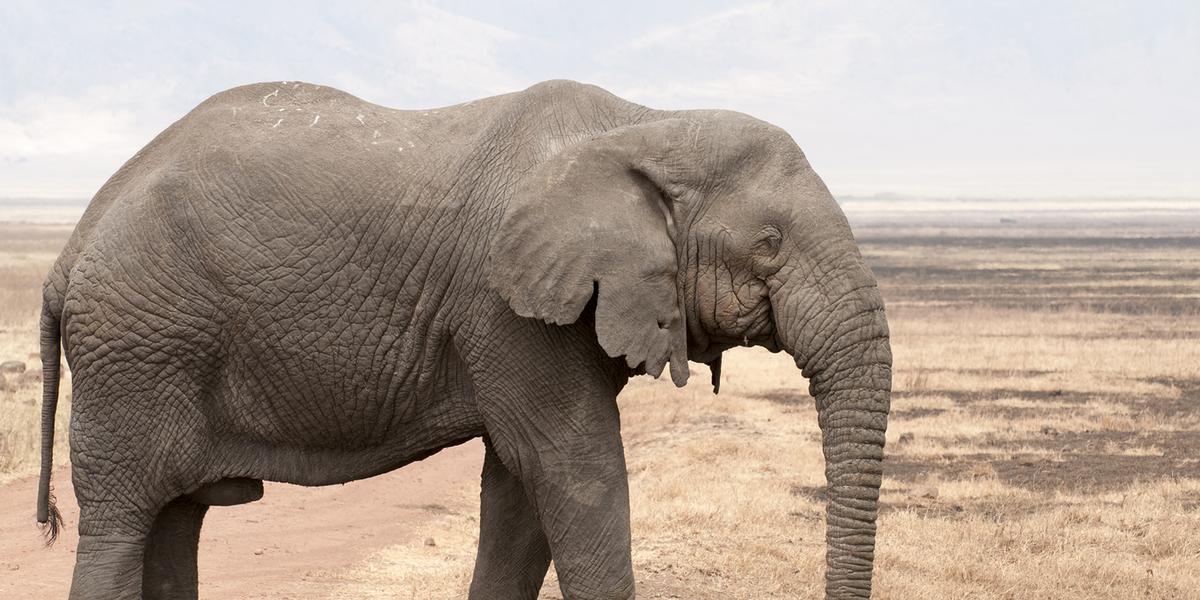Giga Elephant