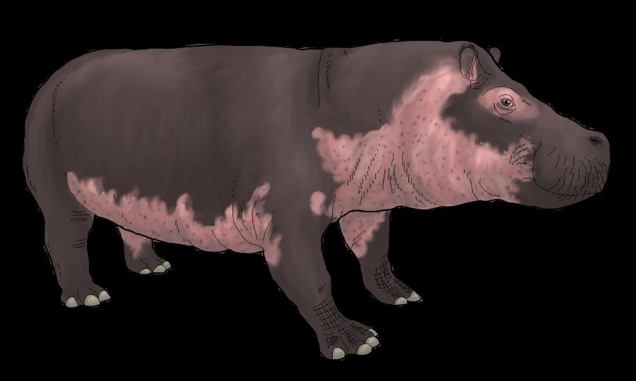 Domestic Hippopotamus