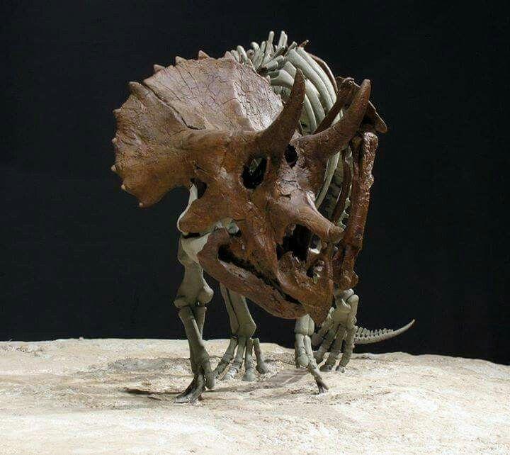 Triceratus