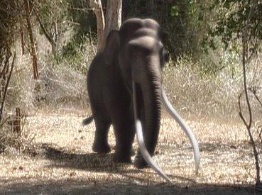 European Elephant