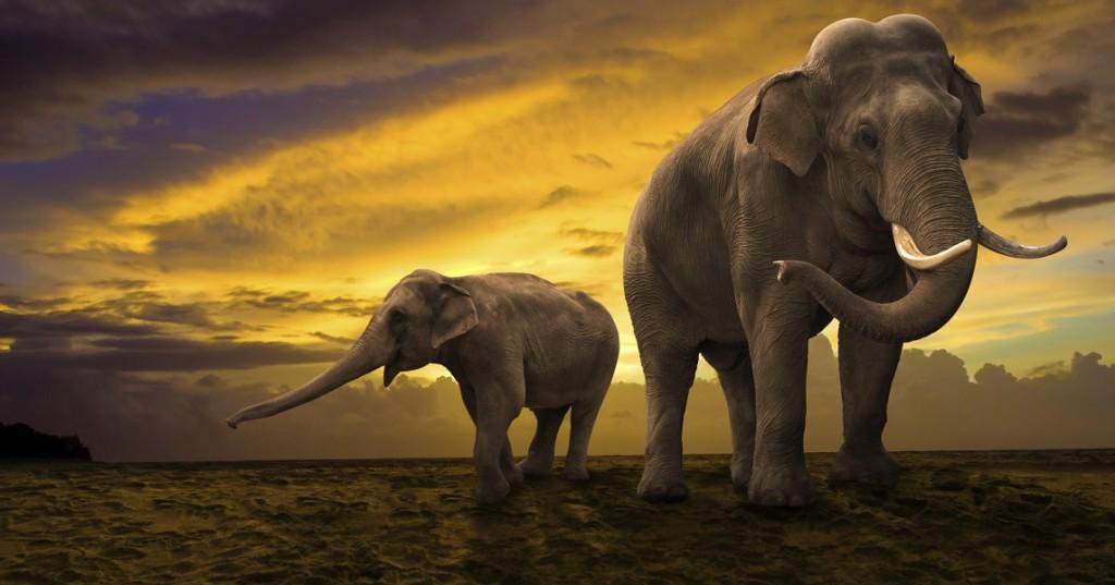 Common Californian Elephant