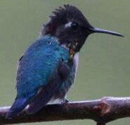 North American bee hummingbird (SciiFii)