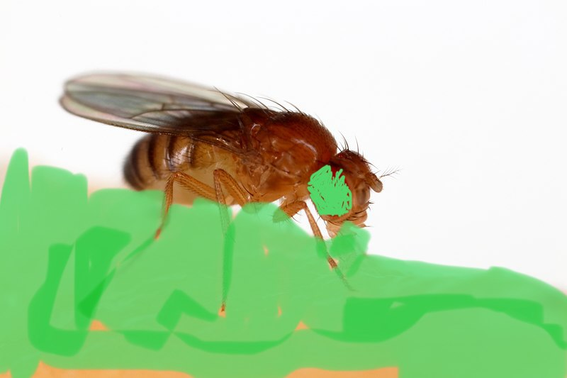 Vegetable Fly