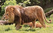 Barbary lion (SciiFii).jpg