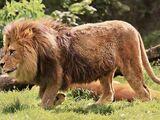 Barbary lion (SciiFii)