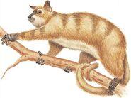 American vervet lemur (SciiFii)