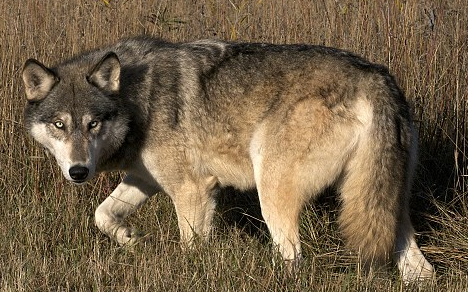 African Gray Wolf