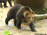 Florida Grizzly Bear