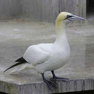 Pacific gannet (SciiFii)