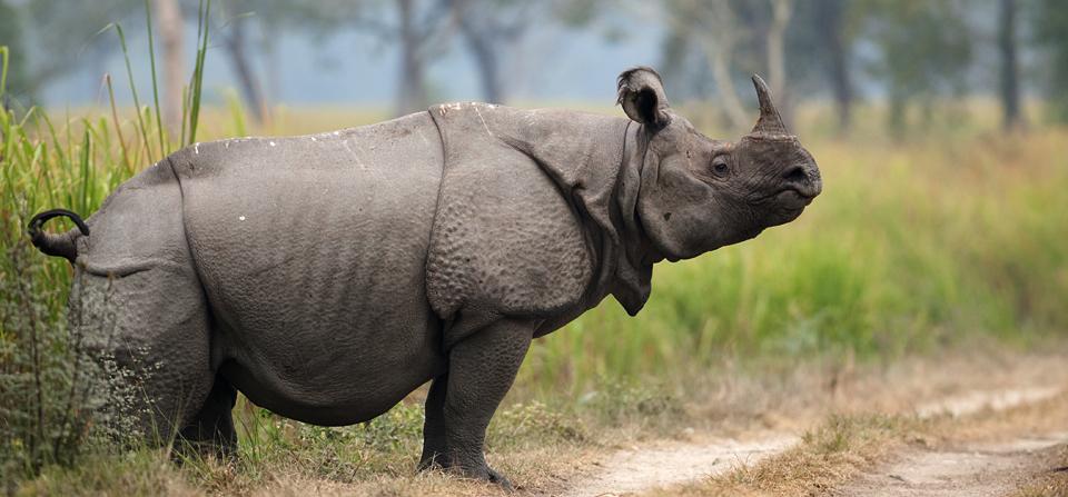Florida Rhinoceros