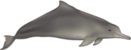 Pacific humpback dolphin (SciiFii)