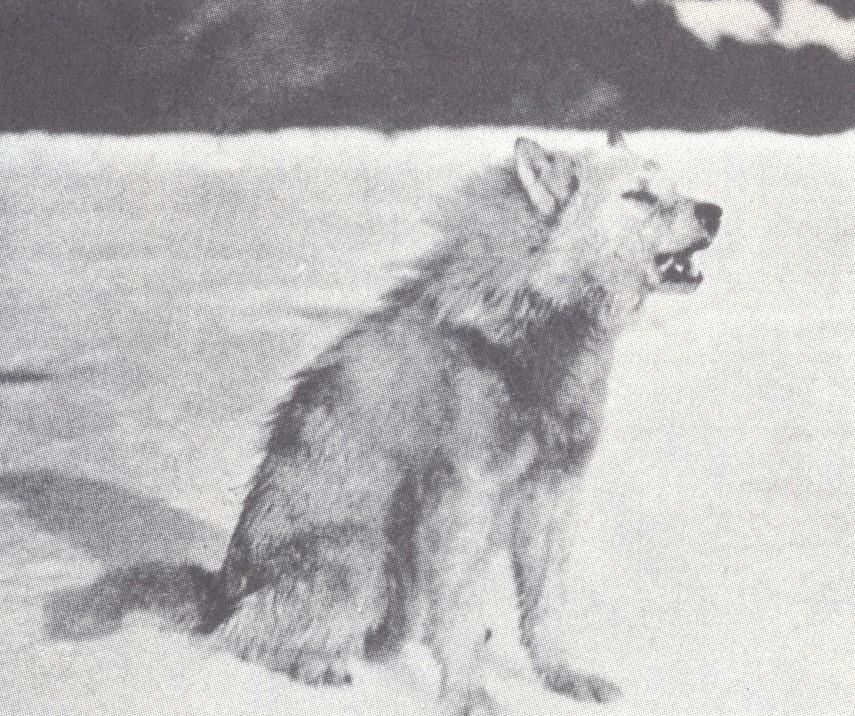 Northern Arctic Gray Wolf