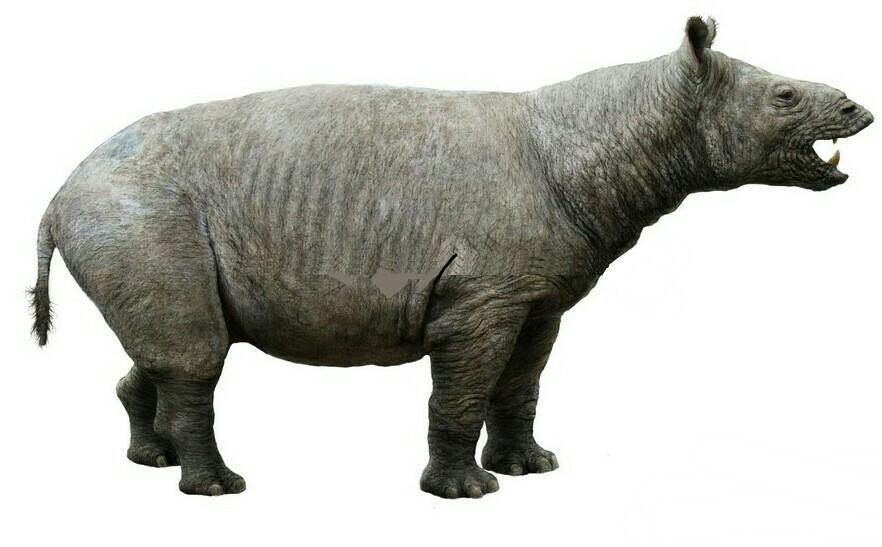 Common Hippoceros